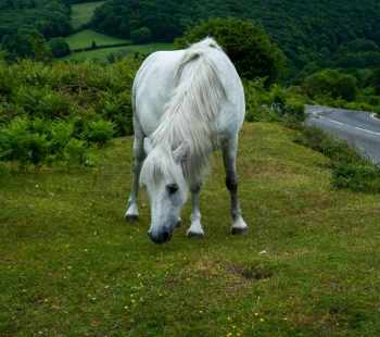 Dartmoor white horse eating